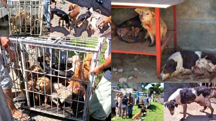Breaking News - Dogs Mountain - More Dogs Rescued! #dogmeattrade #philippines