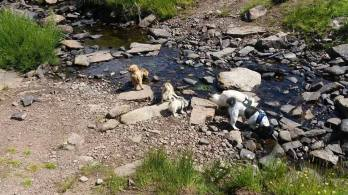 robert donkers dogs in stream