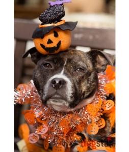 Staffie_Halloween_DogWalk
