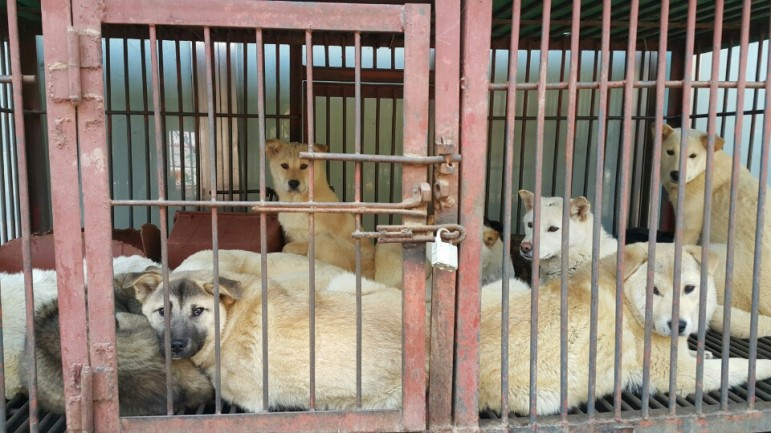 dogs caged at Moran meat market Seongnam